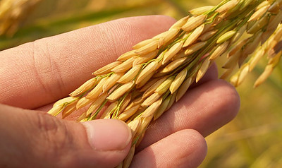 It No Longer Uses Rice Hulls