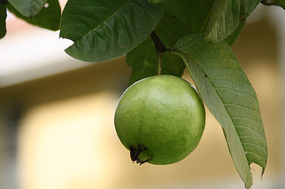 Guava Can Be A Great Source Of Zinc