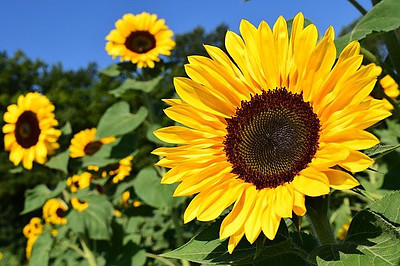 Sunflower Oil Is An Additive In This Supplement
