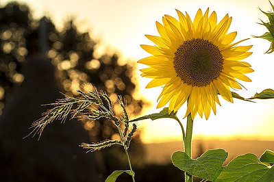 Sunflower Oil Is One Of Not That Ideal Additives