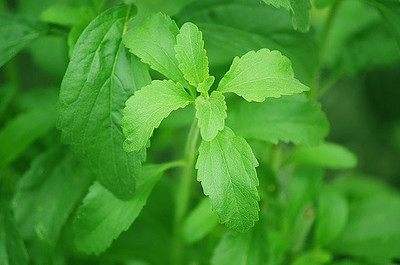 Stevia Is One Of The Healthy Options For Sweetening