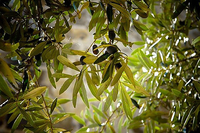 Olive Leaf Extract Can Help Quite A Bit